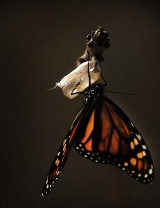 butterfly-pixabay